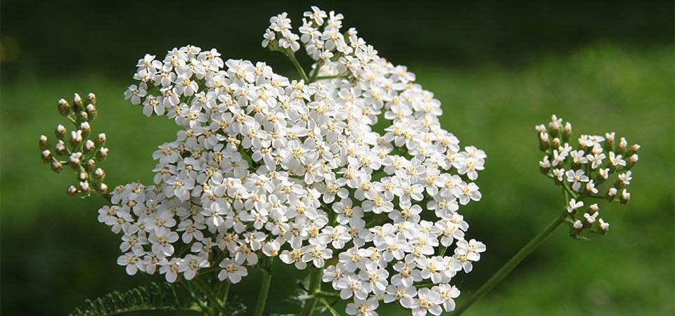 Blüte der Schafgarbe