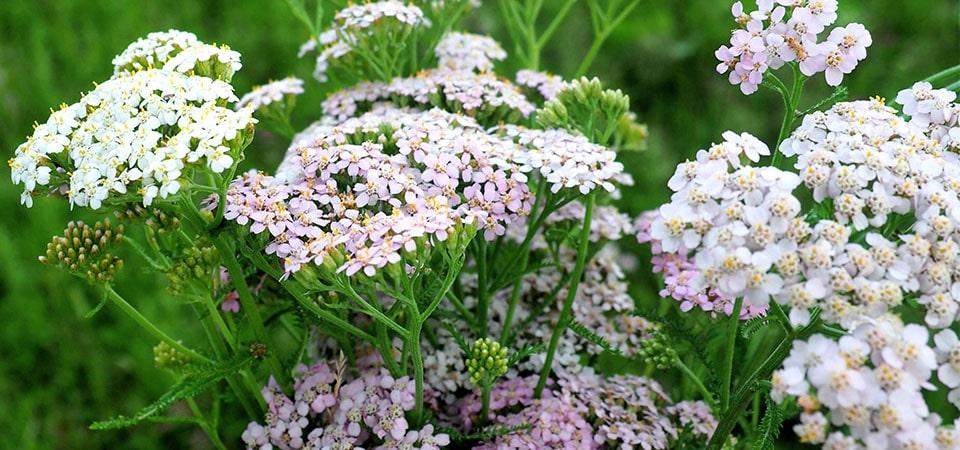 Schafgarbe mit weiß - rosa Blüten